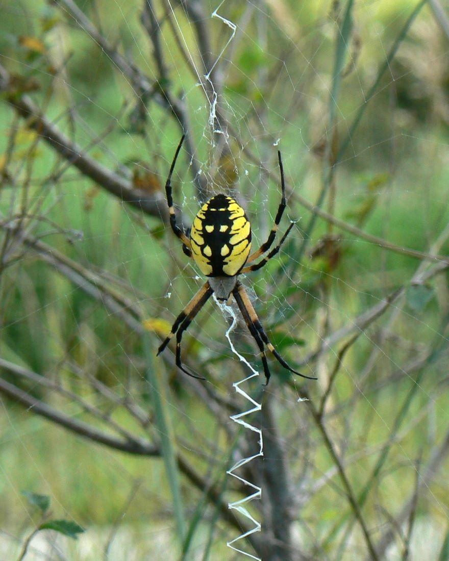 Скачать фото желтого паука