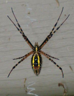 Фотография желтых пауков в России