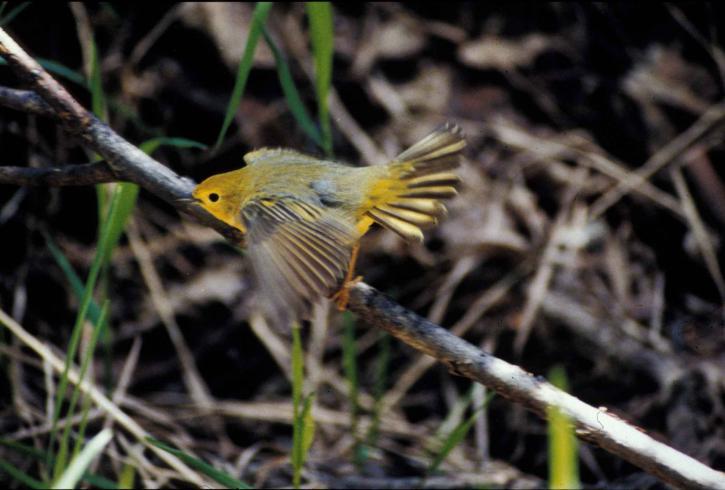 Красивые крылья певчей птицы, бесплатно