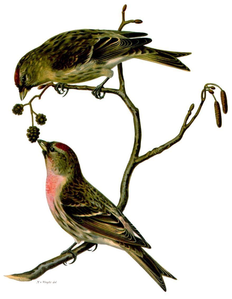 Смотреть фото лесной певчей птицы