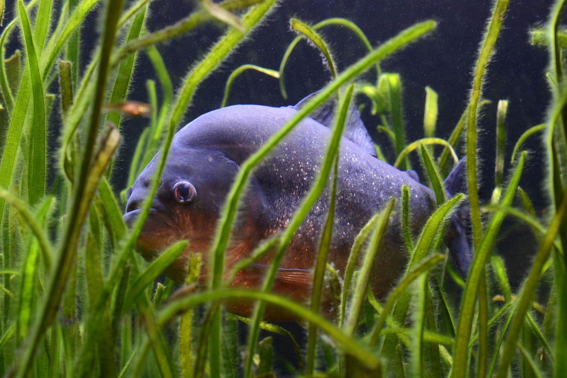 Смотреть красивые фото хищной рыбы пираньи