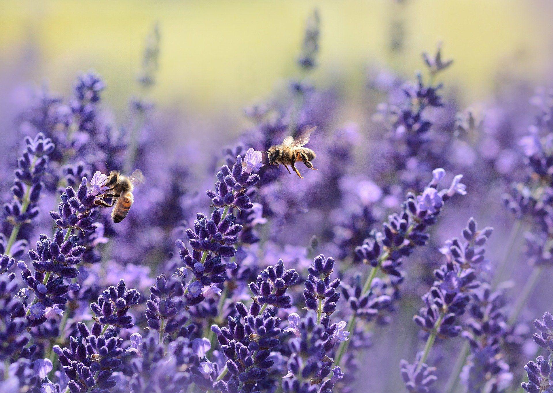 Красивые фото медоносных пчел