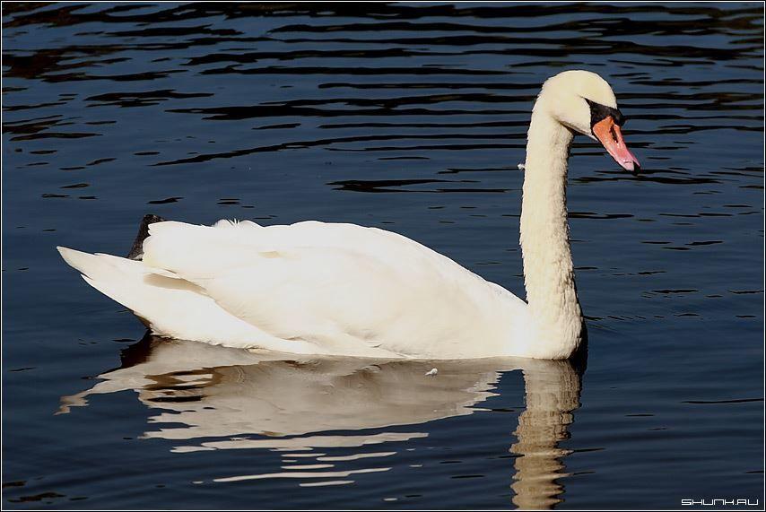 Смотреть красивое фото белого лебедя на пруду