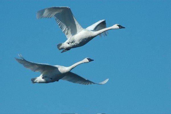 Скачать бесплатно интересное фото двух белый лебедей в полете
