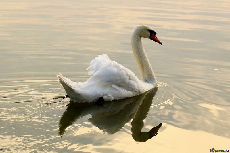 Смотреть лучшее фото лебедя на воде бесплатно