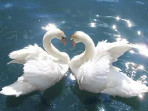 Скачать бесплатно интересное фото двух белый лебедей в хорошем качестве