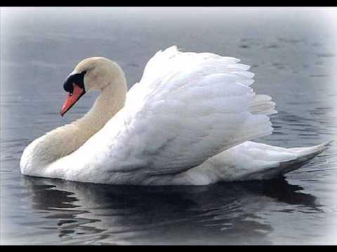 Смотреть лучшую картинку благородного белого лебедя на пруду