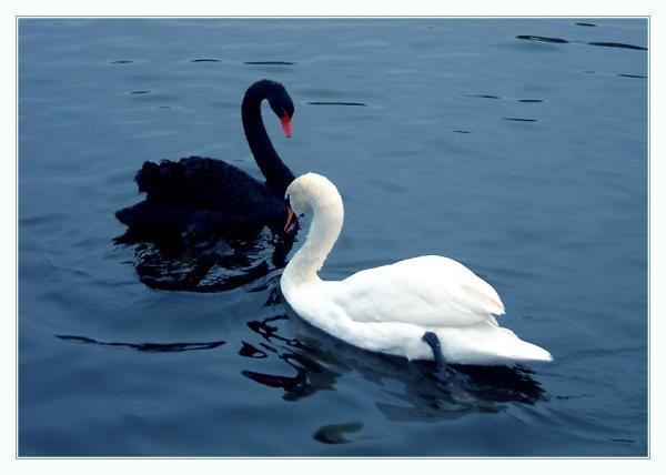 Скачать лучшую картинку белого и черного лебедя