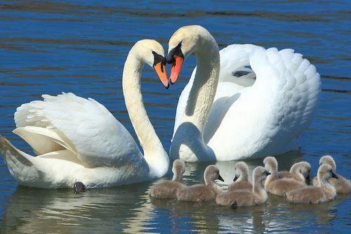 Смотреть красивое фото двух белых лебедей и их детенышей на воде