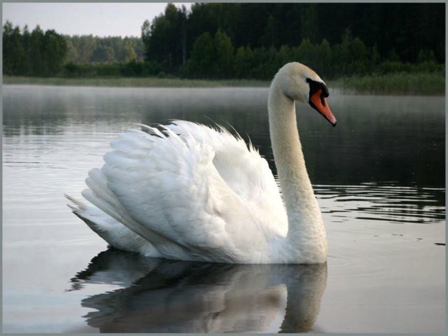 Скачать онлайн бесплатно красивую картинку белый лебедь на пруду