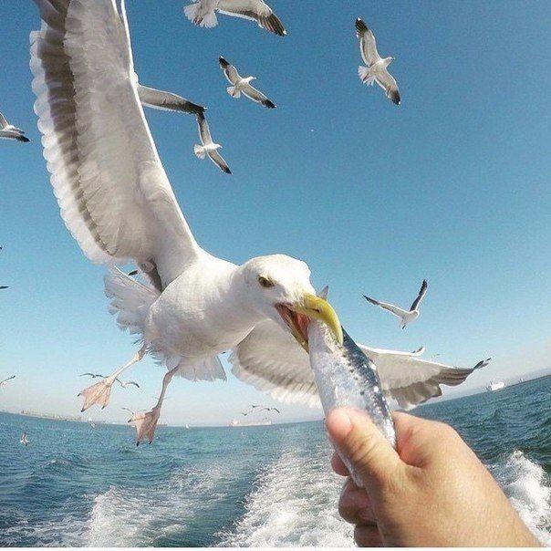 Смотреть интересное фото чайка ест с руки