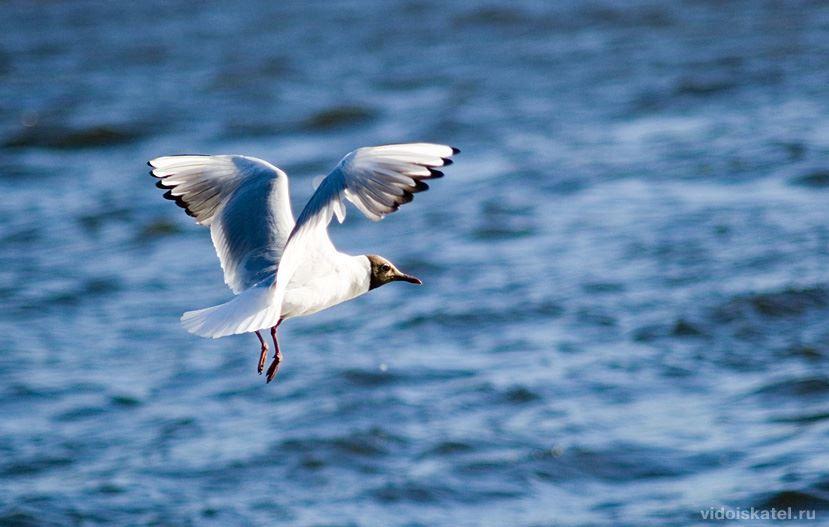 Смотреть лучшее фото чайки в полете