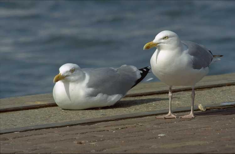 Смотреть лучшую картинку две чайки