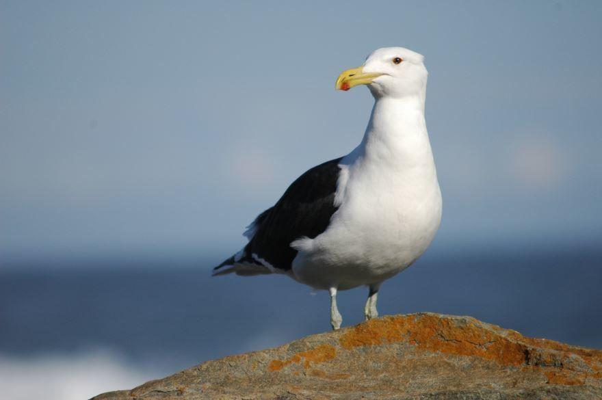 Смотреть красивую картинку чайка на природе крупным планом