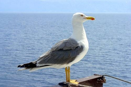 Скачать онлайн бесплатно лучшее фото чайки в хорошем качестве