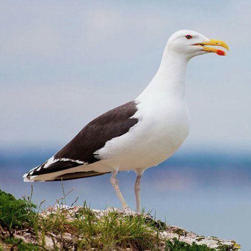 Смотреть красивую картинку чайки крупным планом