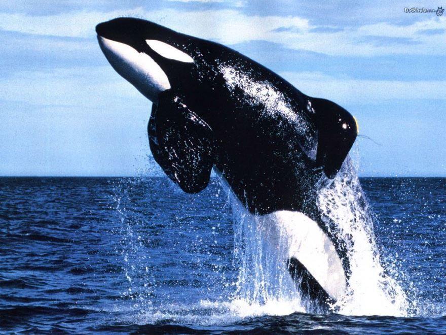 Смотреть интересное фото полет большого кита над водой