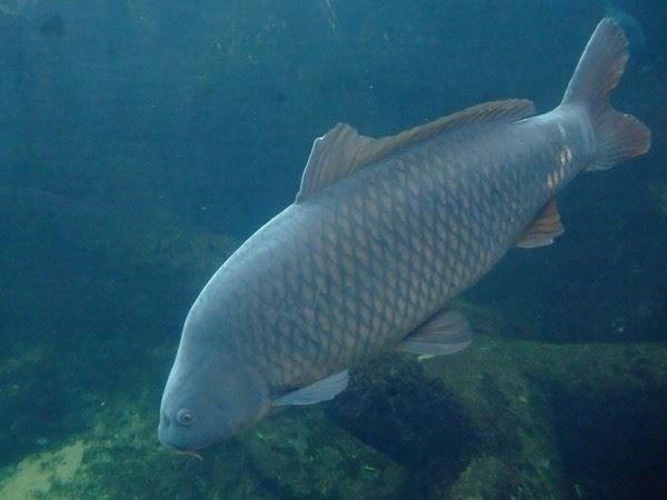 Смотреть интересную картинку рыба карп в воде