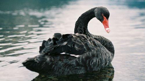 Смотреть красивое фото черного лебедя бесплатно