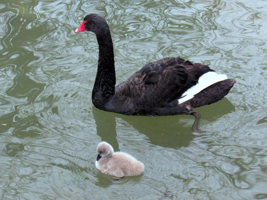 Смотреть лучшее фото черного лебедя и его детеныша на воде