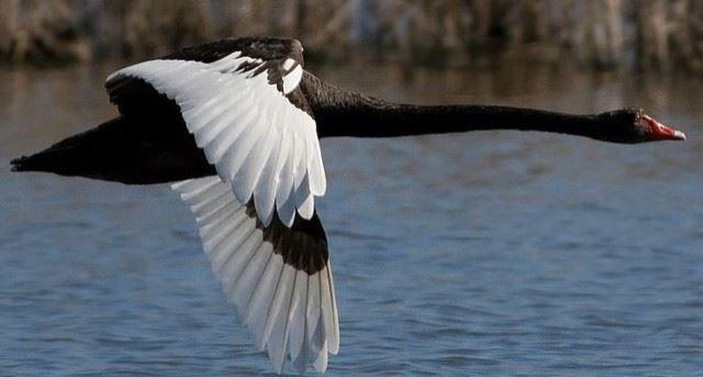 Скачать красивое фото черный лебедь летит