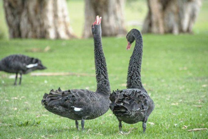 Смотреть лучшее фото двух черных лебедей бесплатно