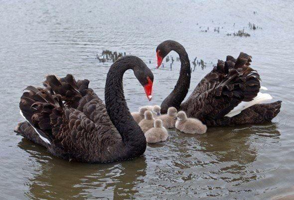 Смотреть красивое фото двух черных лебедей и их детенышей