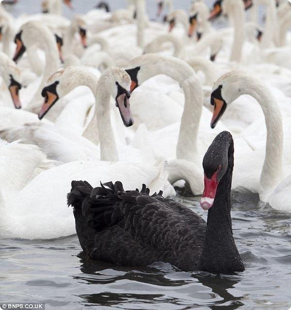 Смотреть оригинальную картинку много белых лебедей и один черный лебедь
