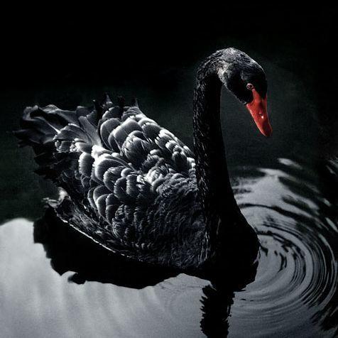 Красивое фото черного лебедя