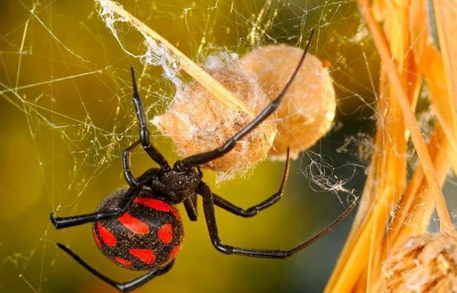 Интересное фото каракурт в паутине