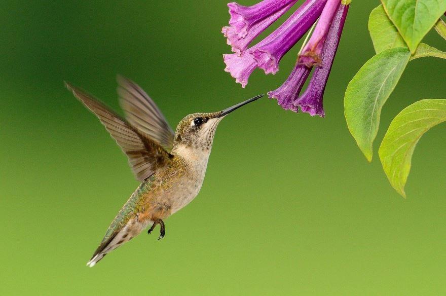 Скачать онлайн бесплатно лучшую картинку колибри в хорошем качестве