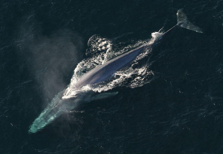 Смотреть красивое фото большого синего кита