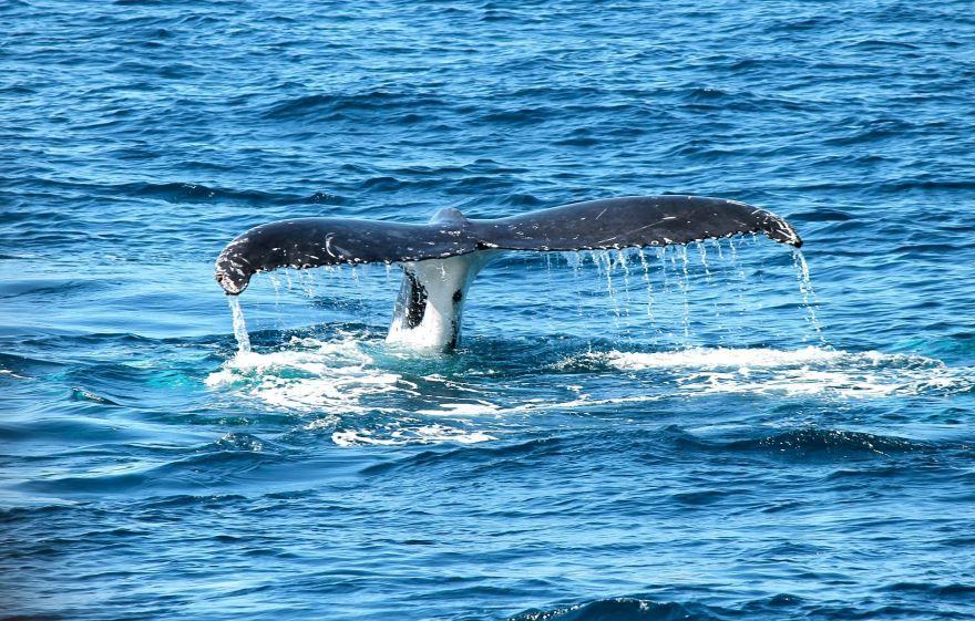 Скачать бесплатно красивую картинку синий кит на поверхности воды