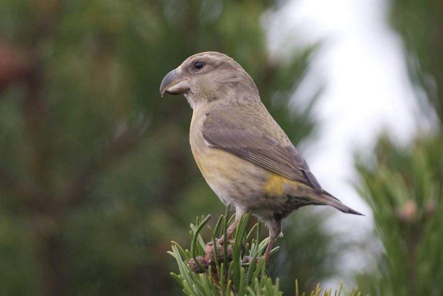 Смотреть лучшее фото птицы клест на дереве