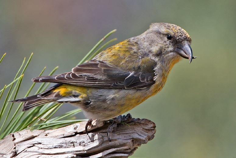 Смотреть красивое фото птицы клест на сучке