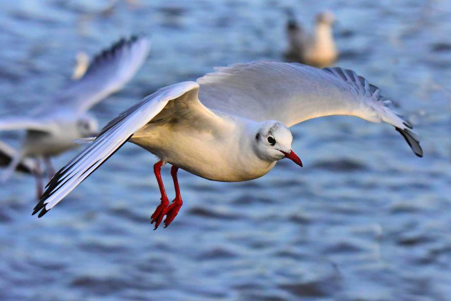Скачать онлайн бесплатно лучшее фото чайки крупным планом