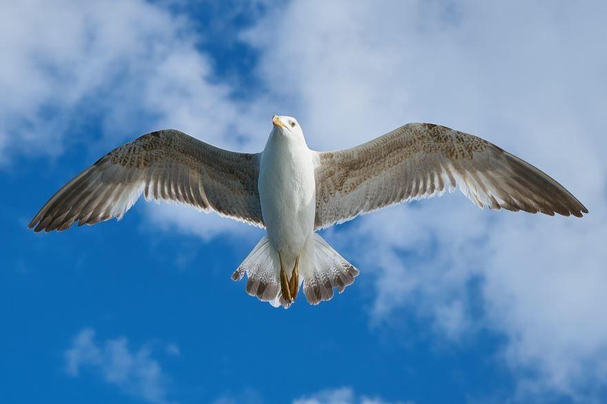 Скачать бесплатно красивую картинку чайка ест рыбу с руки человека