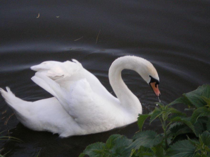 Смотреть красивое фото белого лебедя бесплатно