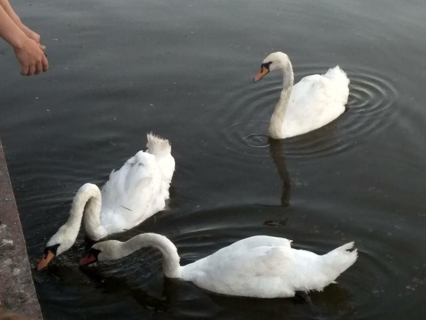 Скачать интересное фото трех лебедей на пруду