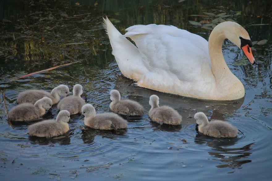 Скачать онлайн бесплатно красивое фото белого лебедя и его детенышей