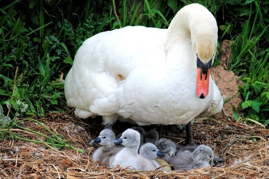 Скачать бесплатно интересную картинку белый лебедь и его детеныши в гнезде