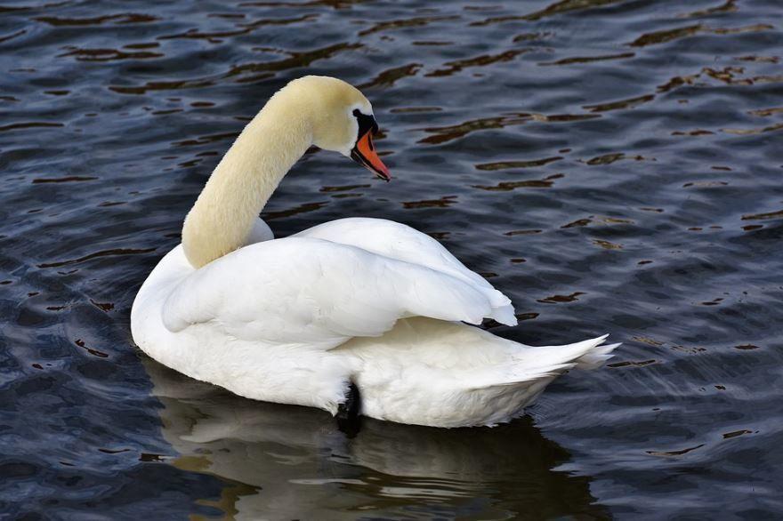 Смотреть лучшее фото белого лебедя