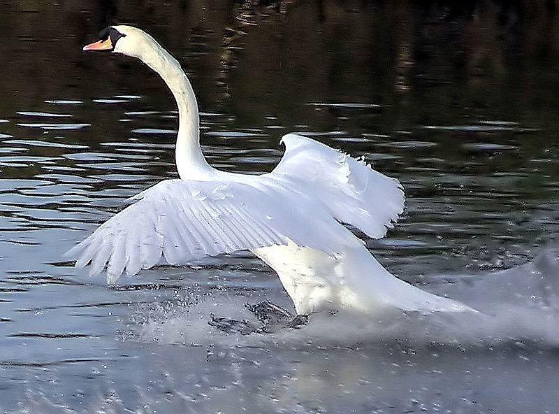 Смотреть красивое фото белый лебедь взлетает