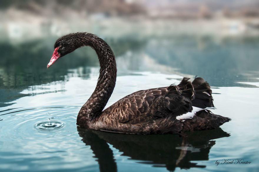Смотреть оригинальное фото черного лебедя в хорошем качестве