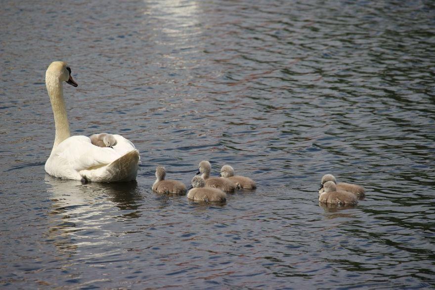 Скачать онлайн бесплатно лучшую картинку лебедя и его детенышей на воде