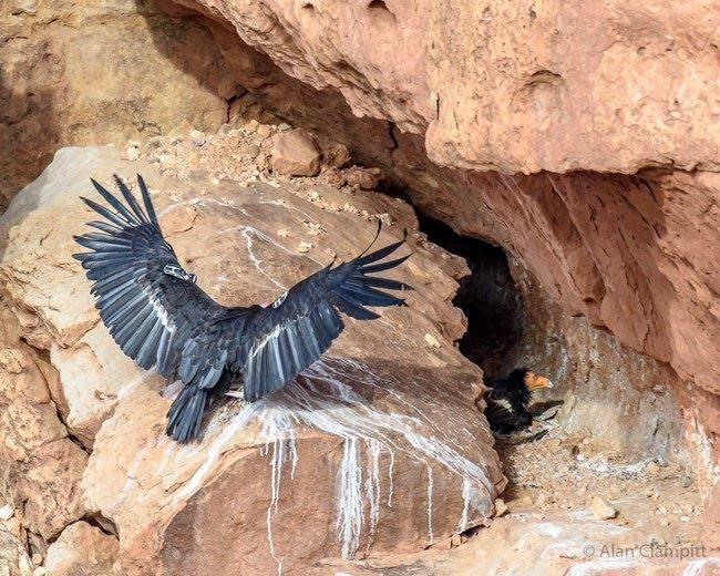 Скачать бесплатно интересное фото кондора