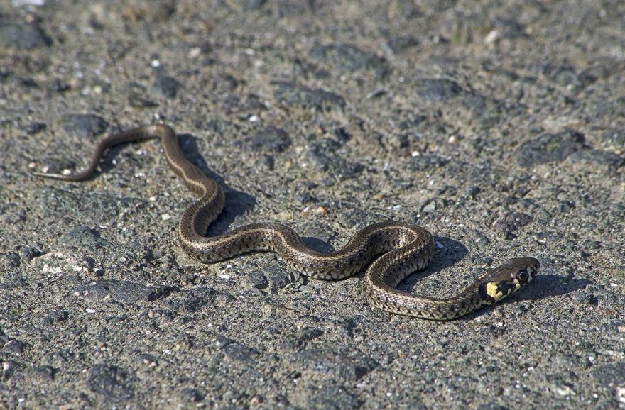 Лучшие фото змеи ужа
