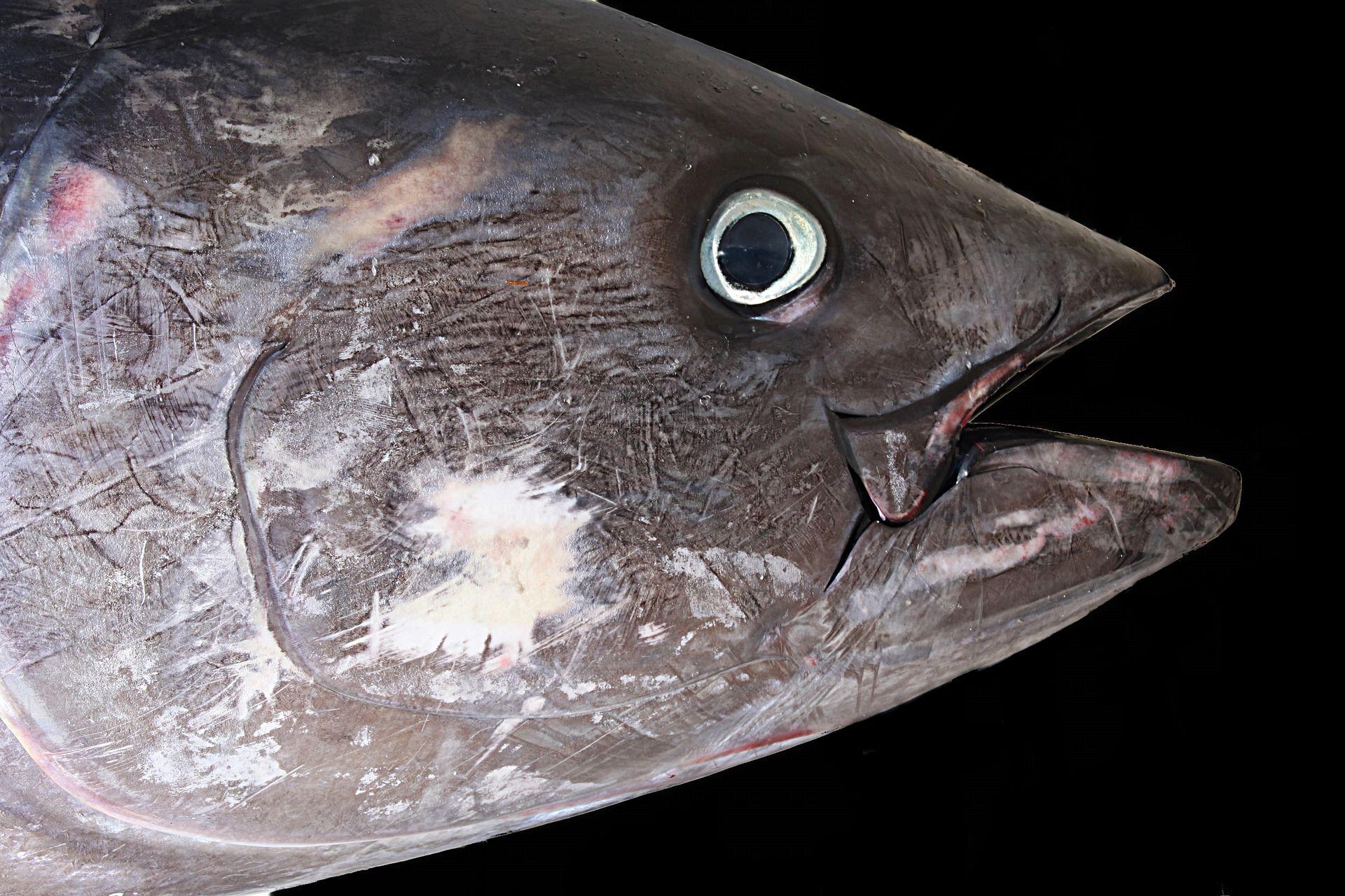 Картинки рыбы тунца бесплатно