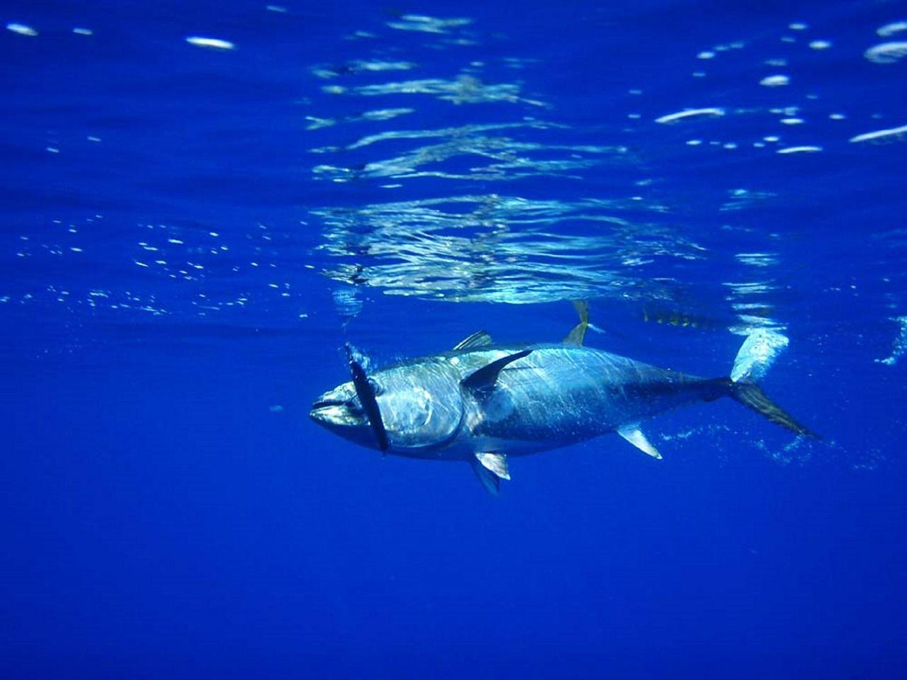 Купить фото тунца? Скачайте бесплатно