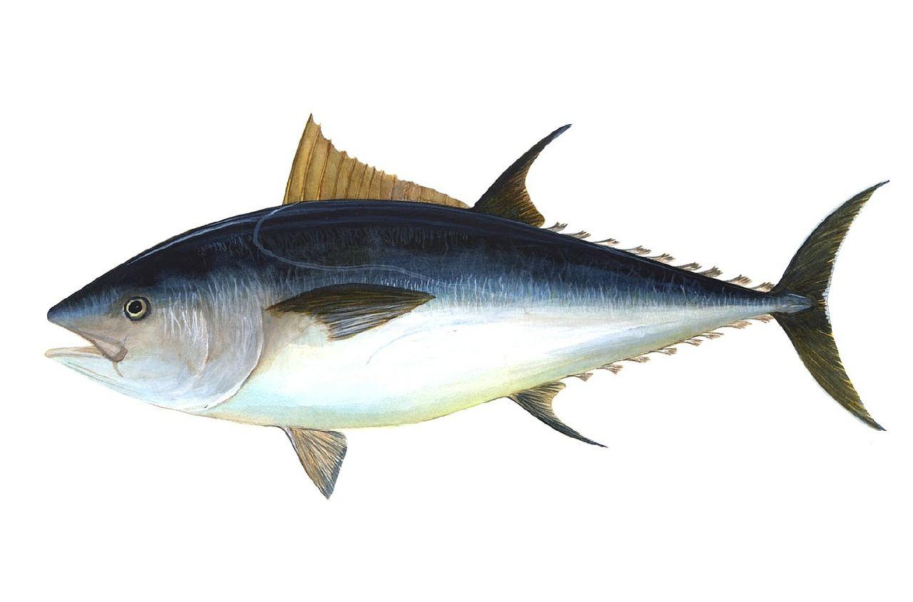 Смотреть фотографии тунца бесплатно